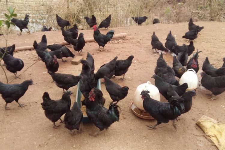 黑鸡苗图片